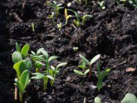 Как мульчировать почву листовой плесенью?